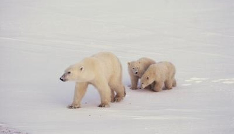 How Many Cubs Do Polar Bears Have At A Time Animals Mom