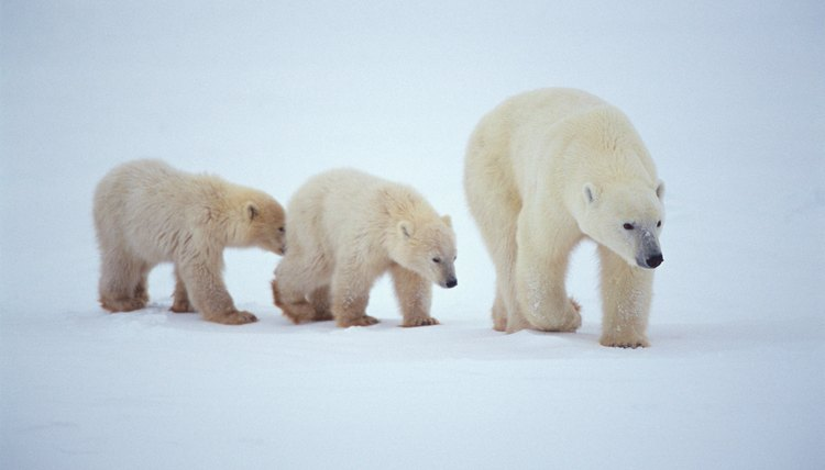 Polar bears live in the Artic zone.