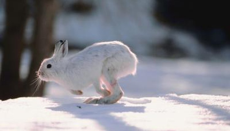 What Happens to Rabbits in the Winter?   Animals - mom me