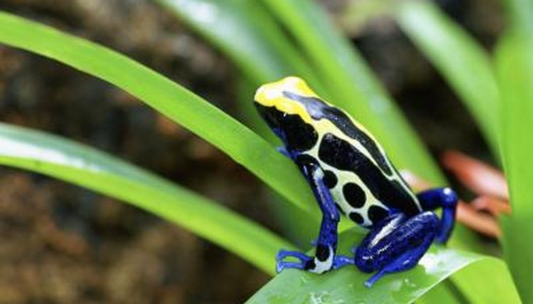 Dart Frog Care For Beginners Animals Mom Me