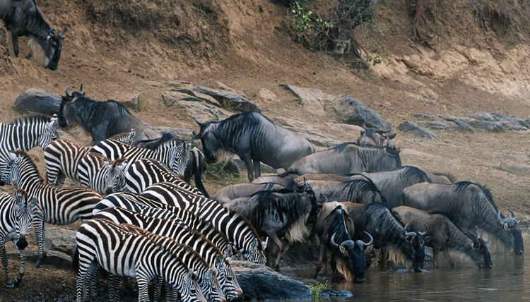 Wildebeests and zebras share a place on the savanna food chain as the hunted.