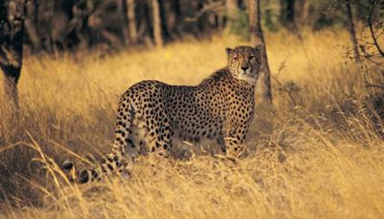 Where Does A Cheetah Live >> What Kind Of Shelter Does A Cheetah Have Animals Mom Me