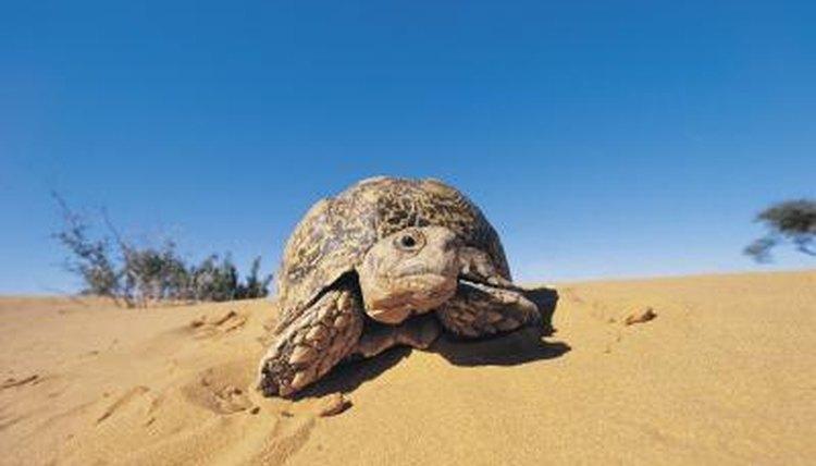 dv030006_XS desert tortoise adaptations animals mom me