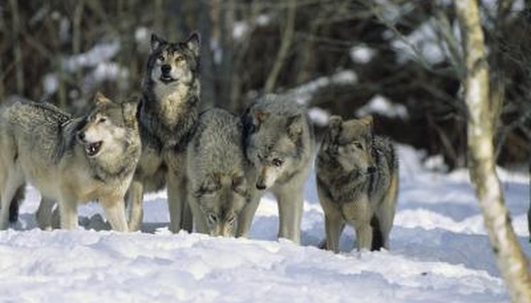 Wolf Packs & Their Pecking Order | Animals - mom me