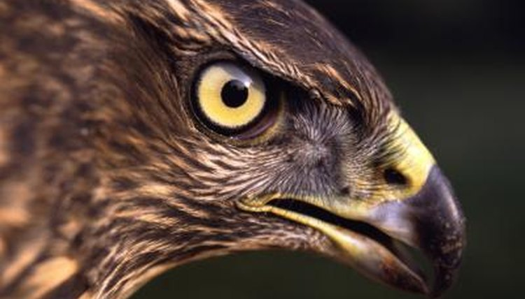 The behavior of the red tailed hawk animals - Red tailed hawk wallpaper ...