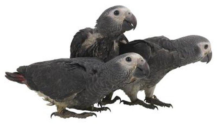 Congo African Grey Male Vs Female Animals Mom Me