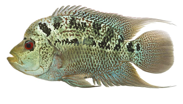 Types of Flowerhorn Fish   Animals - mom me
