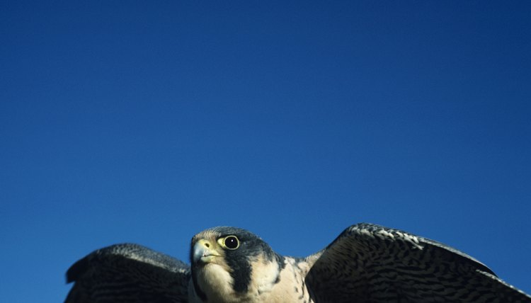 The peregrine falcon is the fastet bird on the planet.