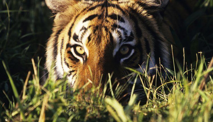 The Terai-Duar grasslands are crucial refuge for Bengal tigers.