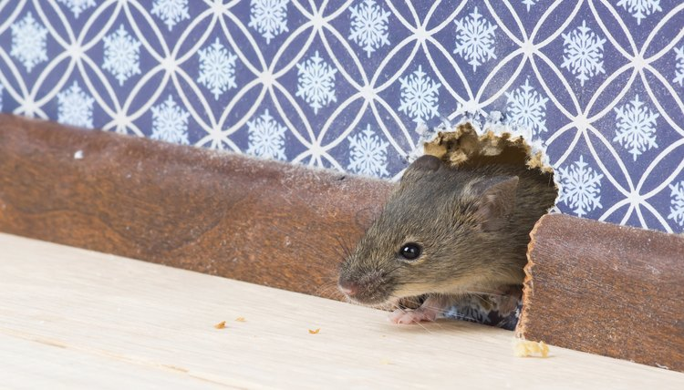 house mouse gets into  room through hole in wall