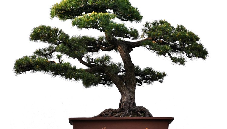 Bonsai can live to be hundreds of years old, if cared for correctly.