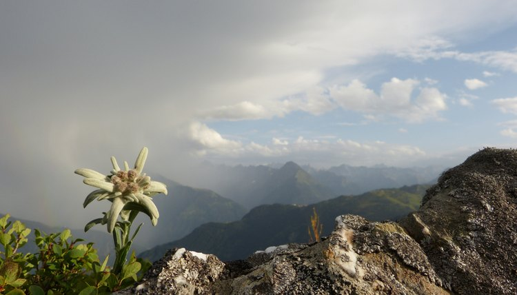 The edelweiss that grows in the Alps holds cultural importance in that region.