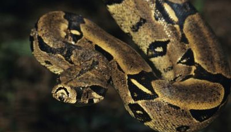 Common Facts on the Red Tailed Boa Constrictor | Animals