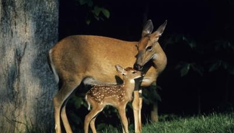 Deers Tail Sexual