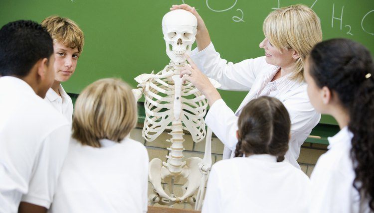 Life-like models of the skeleton are useful in classroom activities.