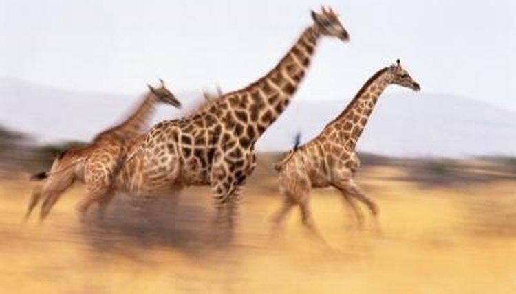 How Fast Do Cheetahs Run How Long Can a Giraffe...
