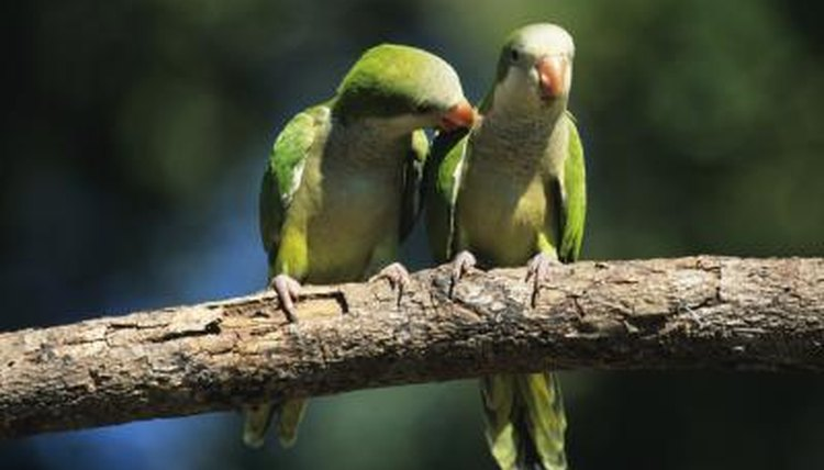 Why Is a Quaker Parakeet Illegal in Some States? | Animals - mom me
