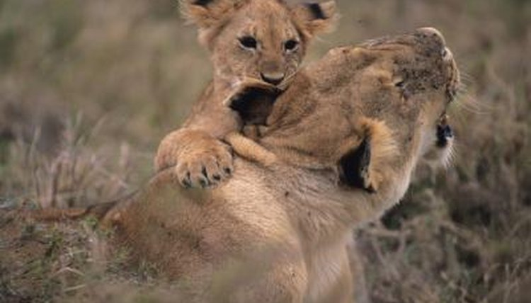 When Do Lions Stop Caring for Their Cubs? | Animals - mom me