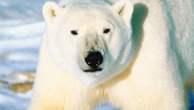 Organizations That Protect Polar Bears Animals Mom