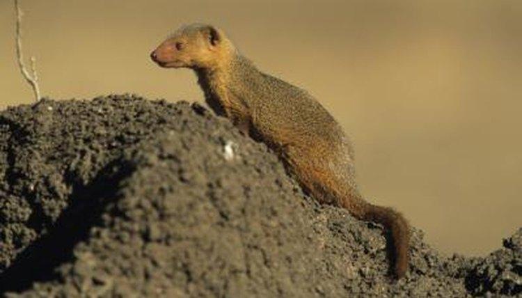 description of a mongoose animals mom me