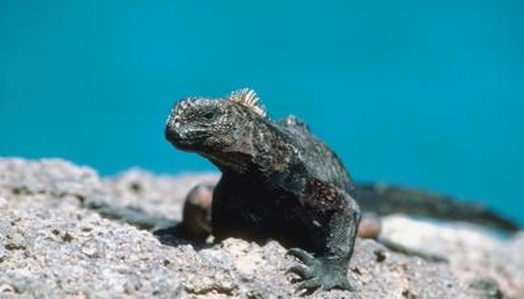 How Long Can Marine Iguanas Live Underwater Animals Mom Me