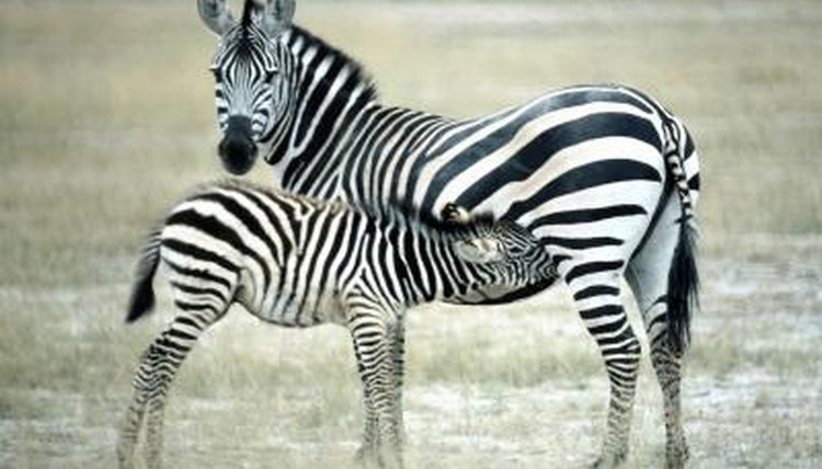 how much does a fully grown zebra weigh animals mom me