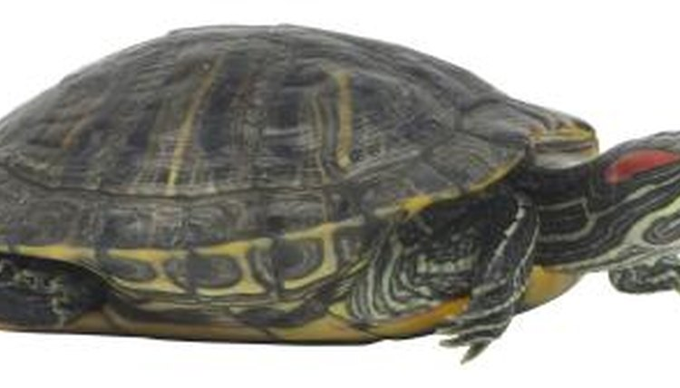 What Does It Mean When a Turtle Shakes Its Arms? | Animals