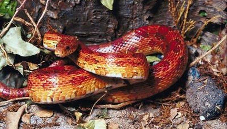 Much striped red corn snake speak this