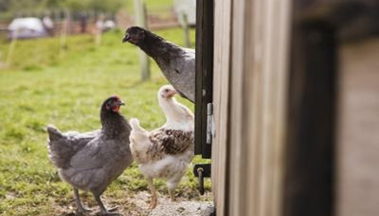 Common Illnesses in Laying Hens   Animals - mom me