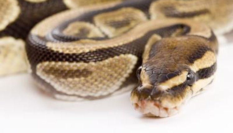 How Do Snakes Hear Without Ears?   Animals - mom.me