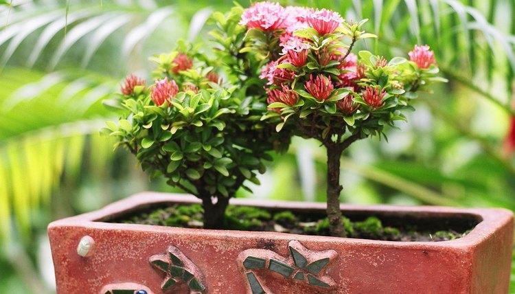 Las rosas miniatura tinen flores de entre 1/4 a 1/2 pulgada (0,6 a 1,2 cm) de diámetro.
