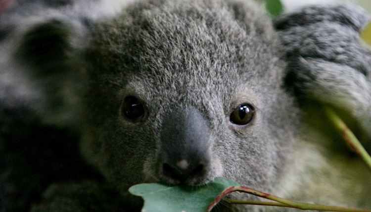 Information On The Reproductive System Of A Koala Bear Animals