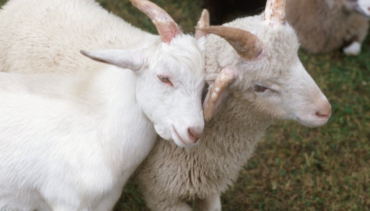 How to Use Horse Wormer on Goats | Animals - mom me