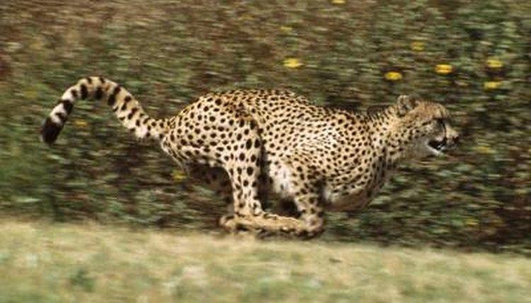 Cheetah Service Dogs