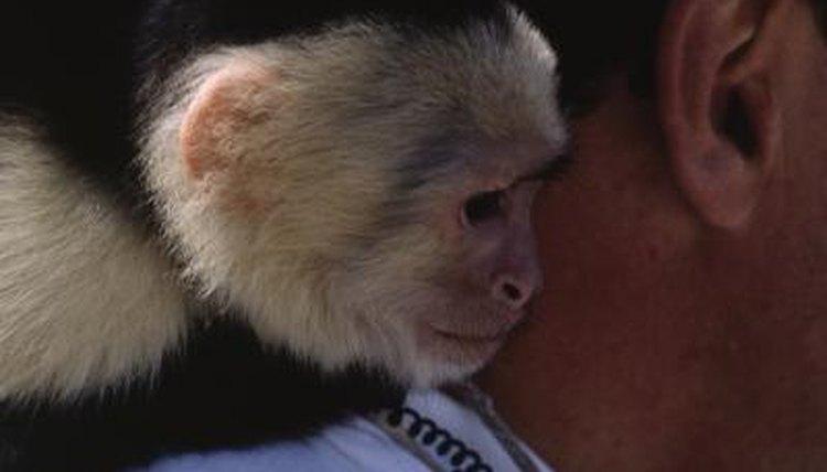 How To Raise A Baby Capuchin Monkey Animals Mom Me