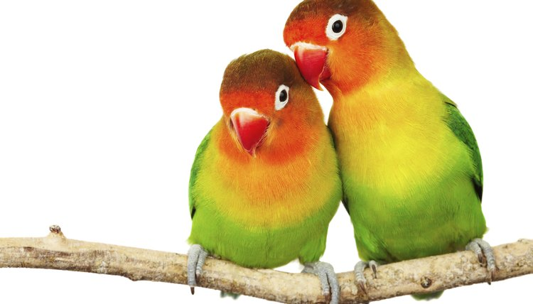 difference between lovebirds parrotlets animals mom me