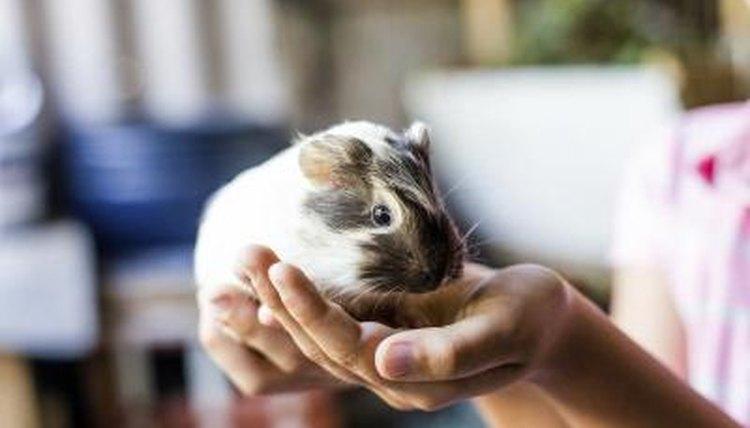 Do Guinea Pigs Like Sunlight? | Animals - mom me