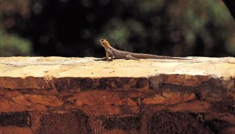 What Do Blue Belly Lizards Need To Survive Animals Mom Me