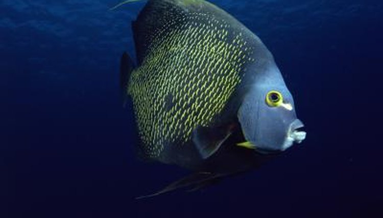 saltwater angelfish in the wild facts animals mom me