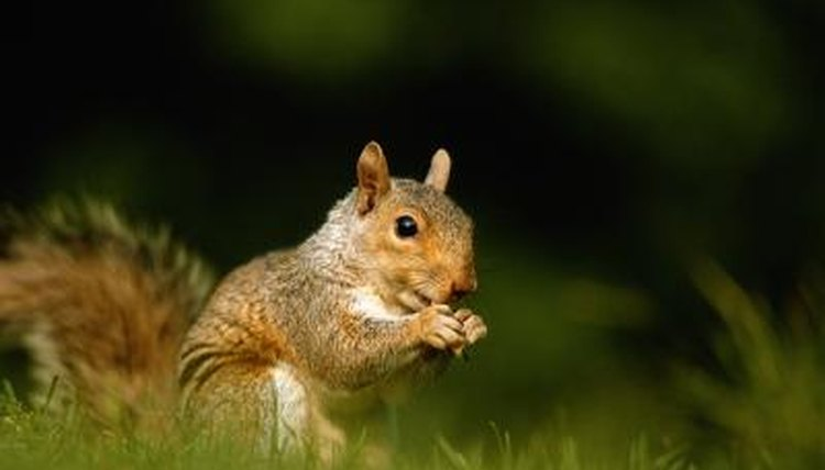 What Does It Mean When Squirrels Wag Their Tails When They Are