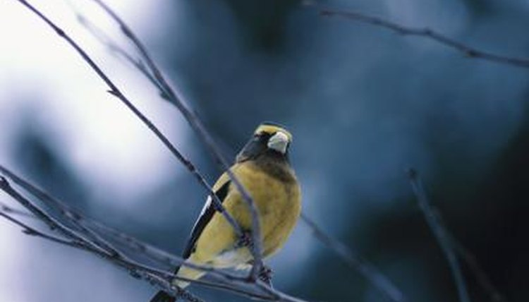 What human foods can finches eat that are healthy for them hemera technologiesphotosgetty images forumfinder Gallery