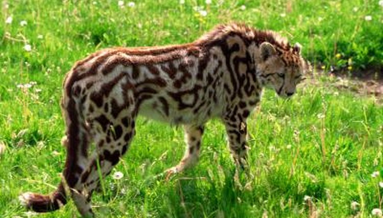 the discovery of the king cheetah animals mom me