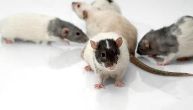 Bonding With Your Rats | Animals - mom me