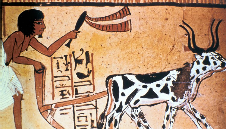Ancient Egyptians used cows to pull the plow.