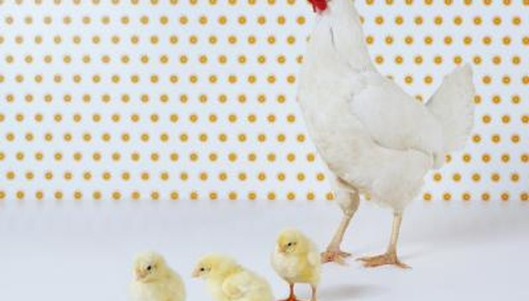How Often Do Roosters & Hens Mate? | Animals - mom.me