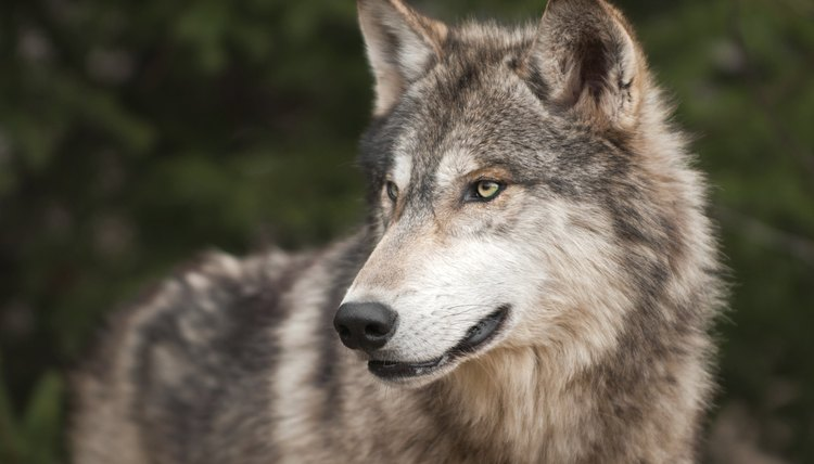 What Is The Difference Between Gray Timber Wolves Animals