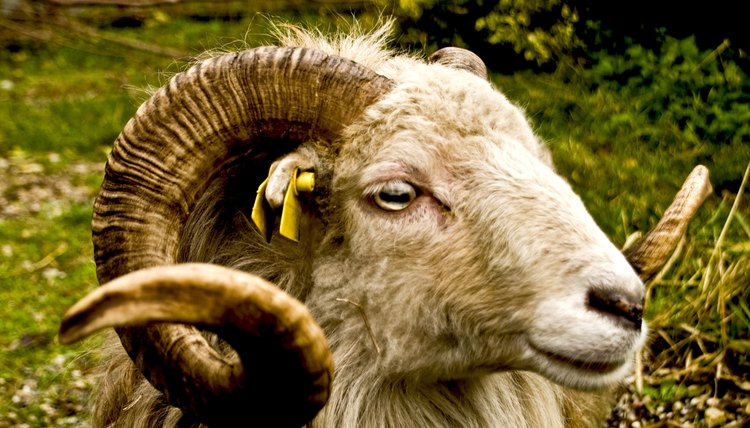 There are biblical references to offerings of rams and their organs as peace offerings.