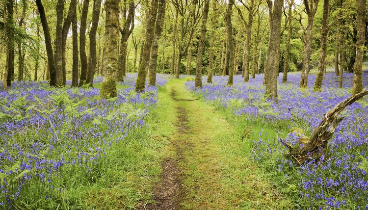 A trail cuts through a Scottish forest full of bluebells in bloom