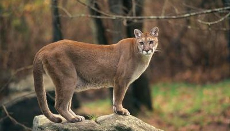 characteristics of cougars animals. Black Bedroom Furniture Sets. Home Design Ideas
