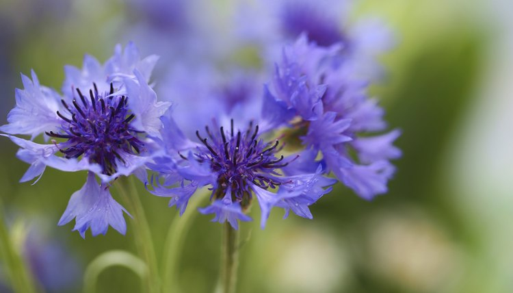 Bachelor's button, also known as cornflower, represents hope and devotion to the recipient.